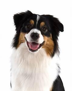 Australian Shepherd Dog - black tri | Dogs | Pinterest ...