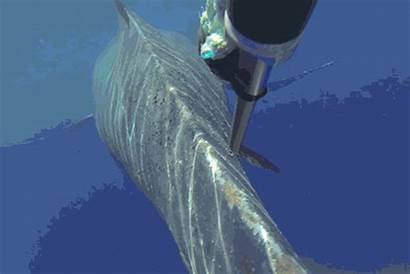 Whale Noaa Fishing Tangled Rope Cut Disentanglement