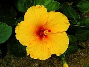 hawaiian flowers images Gallery