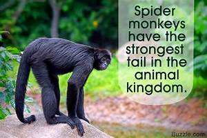 Staggering Facts About Spider Monkeys Youu002639d Never Believe