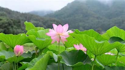 Background Lotus Flower 1080p