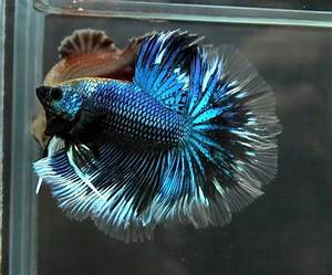 Blue And White Betta Fish