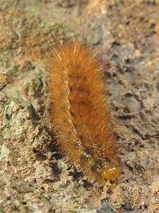 British Caterpillars  Buff Ermine
