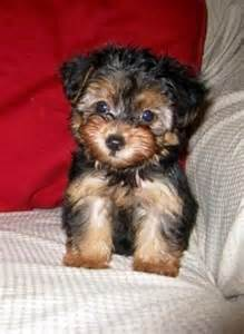 Black and Brown Yorkie Poo Puppies