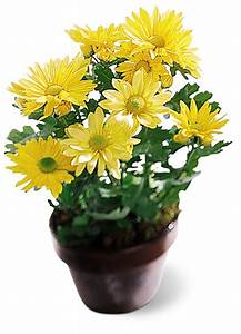 Small Daisy Potted Plant At Ollie U0026 39 S Grower Direct Flowers