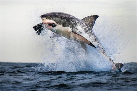 Great White Shark Photographed Mid-air