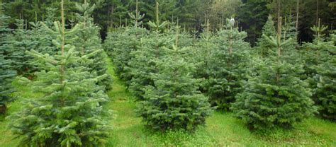 christmas trees apple hill growers