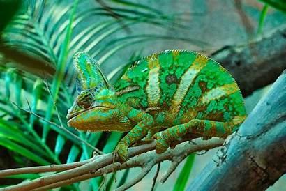 Chameleon Chameleons Colors Healthy Leaf Pygmy Meaning