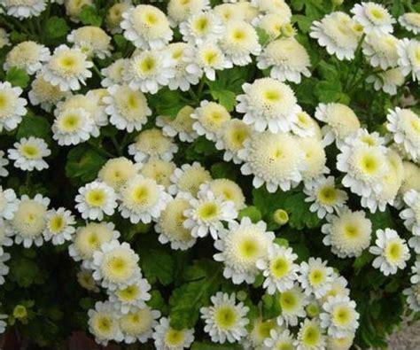 ดอกไม้: ดอกเบญจมาศ