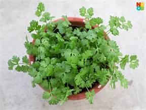 Coriander Cilantro Plant