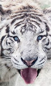 Siberian White Tiger 4K Wallpapers   HD Wallpapers   ID #30367