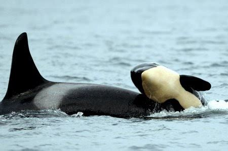 Killer Whale Baby Orca