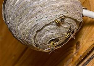 Was Machen Wespen Im Winter : wespennest entfernen so geht 39 s nicht ~ Lizthompson.info Haus und Dekorationen