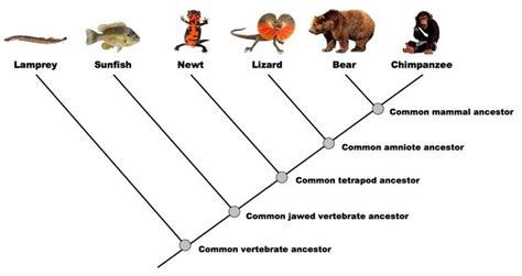 simple cladogram option  phylogeny