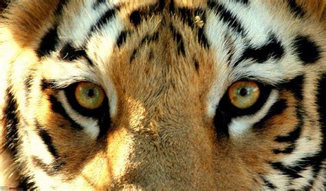 tiger eye tiger eyes can assure you tiger thats fun team bhp meet tadoba eye tiger jpg a love of