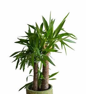Yucca Palme Pflege : worauf ist beim palmen kauf zu achten ~ Eleganceandgraceweddings.com Haus und Dekorationen