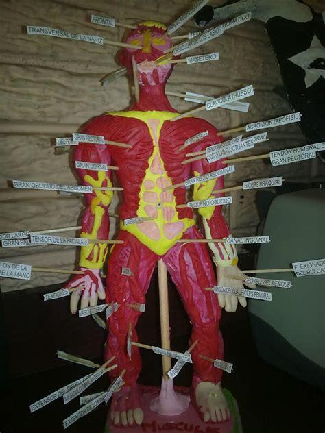 como puedo hacer una maqueta del sistema muscular como puedo hacer una maqueta del sistema muscular