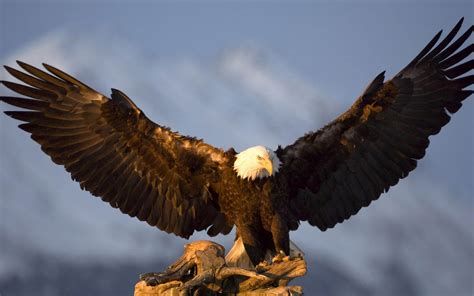 golden eagle wallpaper hdpetite soumiselylye