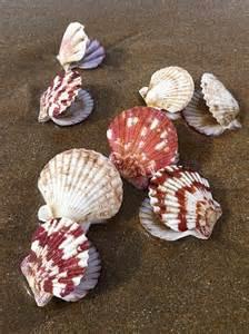 Beautiful Scallop Shells