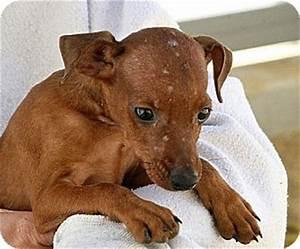 Red   Adopted Puppy   A031642   Berkeley, CA   Miniature ...