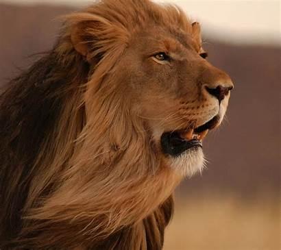 Animals Lion Mobile Wallpapers Desktop Backgrounds