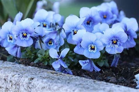 Winterpflanzen Für Balkon by Winterpflanzen F 252 R Balkonk 228 Sten 16 Sch 246 Ne Winterblumen