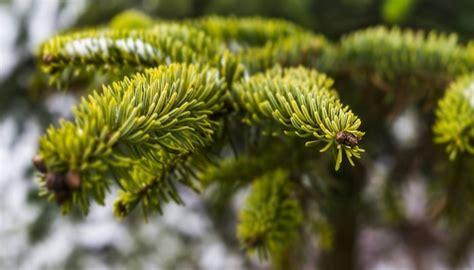 Weihnachtsbaum Nadelt Was Tun weihnachtsbaum nadelt das kannst du dagegen tun