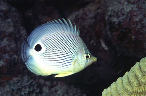 chaetodon capistratus discover fishes