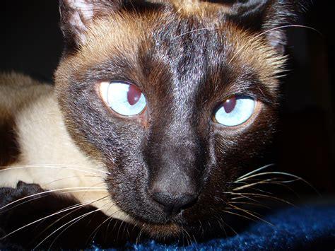 Filesiamese Cat Crosseyedjpg  Wikimedia Commons