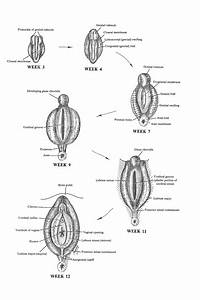 Chapter 107  Development Of The Female External Genital