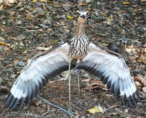 bush stone curlew hd wallpapers backgrounds