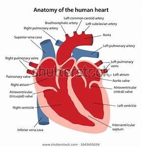 Anatomy Human Heart Cross Sectional Diagram Stock Vector