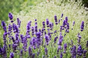 Schleierkraut Im Topf : blumenportrait lavendel pflanzen schneiden pflegen ~ Watch28wear.com Haus und Dekorationen