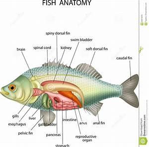 Anatomy Of A Fish Cartoon Vector