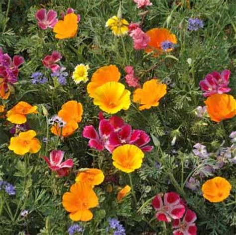 100 pure wildflower seeds non gmo native urban farmer