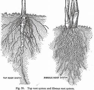 Tap Root System And Fibrous Root System