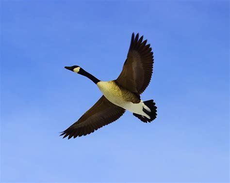 goose flying  canadian goose flying overhead