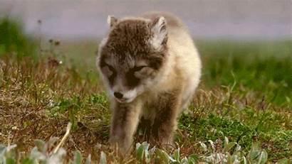 Gifs Animal Sleepy Cutest Adorable Wolf Animals