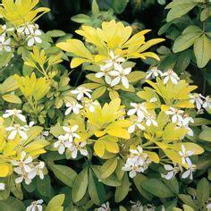 japanese shrubs bushes images garden shrubs