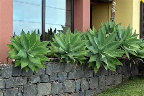 agave plants buy how to grow agave attenuata ebay