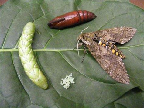 hungry caterpillar researchers sequence genome