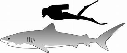 Shark Tiger Svg Sharks Silhouette Fish Clipart