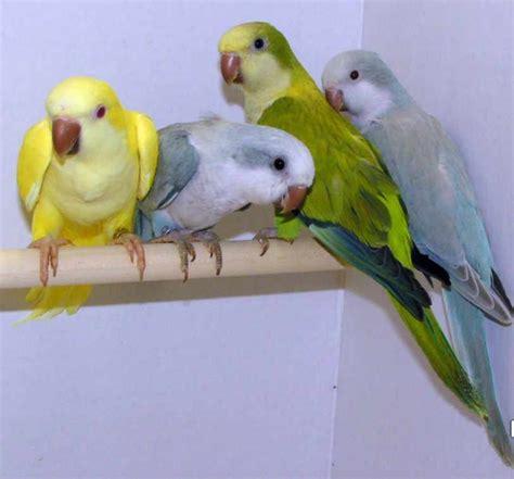 quaker color hello friends yellow quaker parrot
