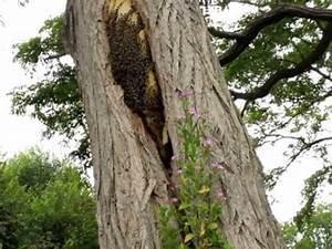 Comment Creuser Un Tronc D Arbre : abeilles install es sur un tronc d 39 arbre v ela e youtube ~ Melissatoandfro.com Idées de Décoration