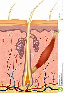 Human Hair Structure Anatomy Illustration. Vector Royalty ...