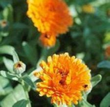 do marigolds keep bugs away marigolds to keep the bugs away patio pinterest the bug the o jays and midge repellent