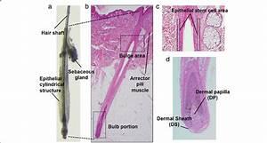 Normal Human Scalp Hair Follicle Structure  A A Hair