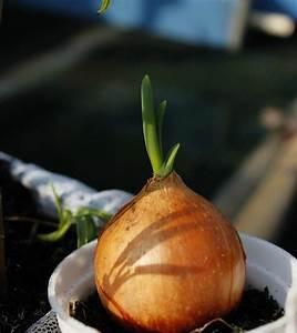 Growing Onions Indoors