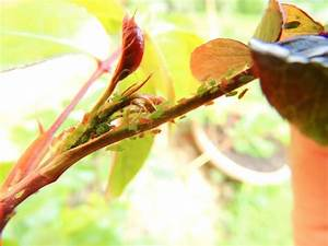 Schädlinge An Rosen : sch dlinge an rosen erkennen und bek mpfen ~ Lizthompson.info Haus und Dekorationen