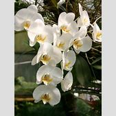 Phalaenopsis am...